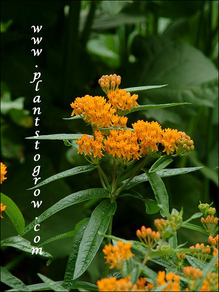 Asclepias tuberosa (Butterfly Weed) 3